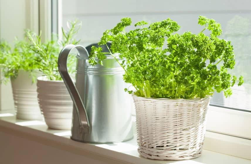 Parsley in pot indoors