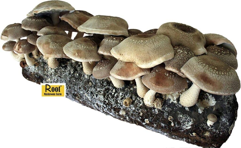 Root Mushroom Farm Shiitake Mushrooms