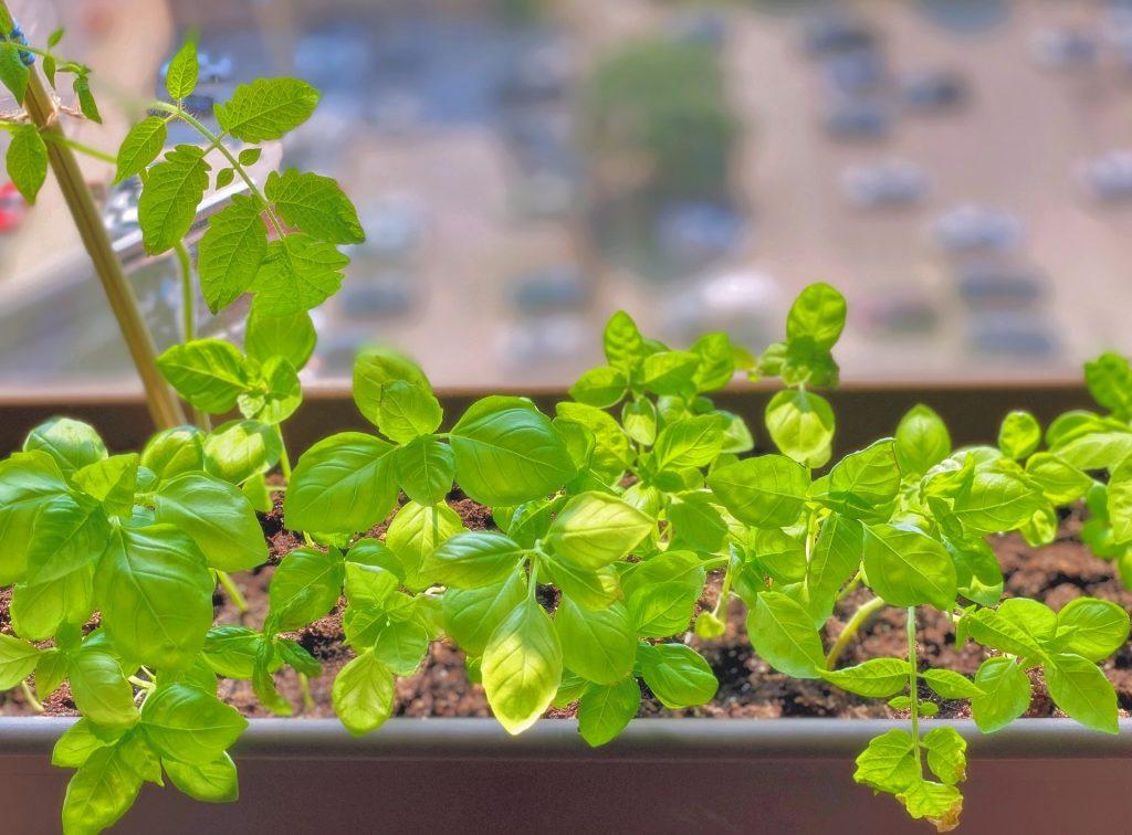Basil Growing Indoors