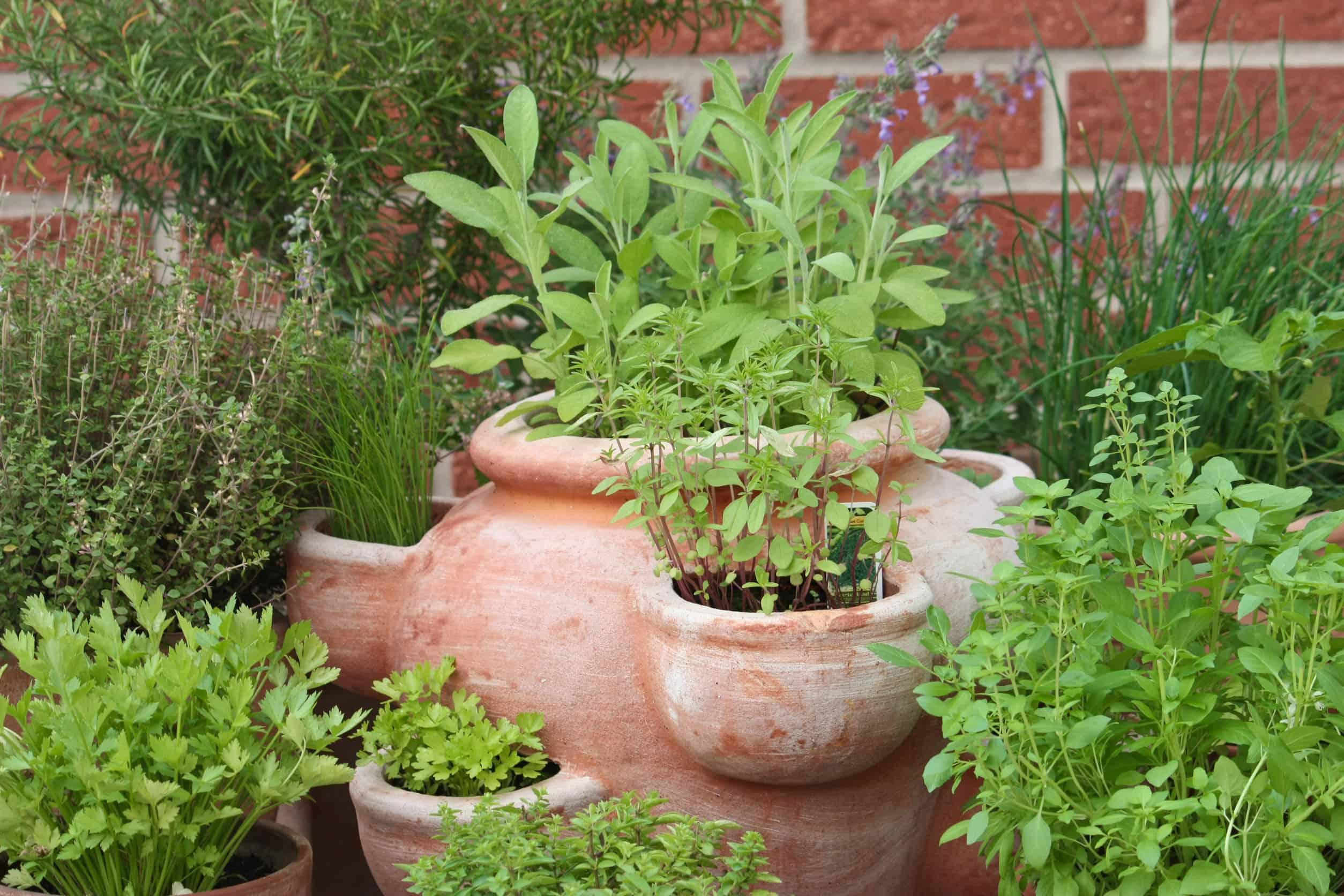 Herb Companion Planting