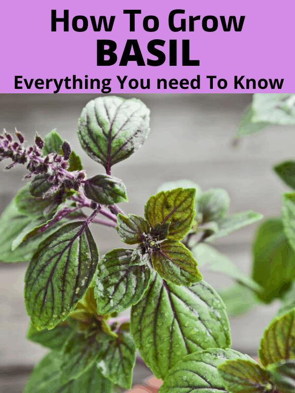 How to grow basil