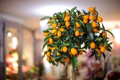 Mayer Lemon Tree