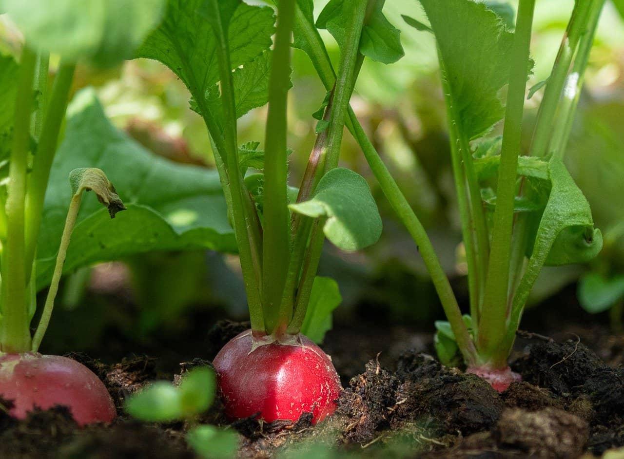 Growing Radishes