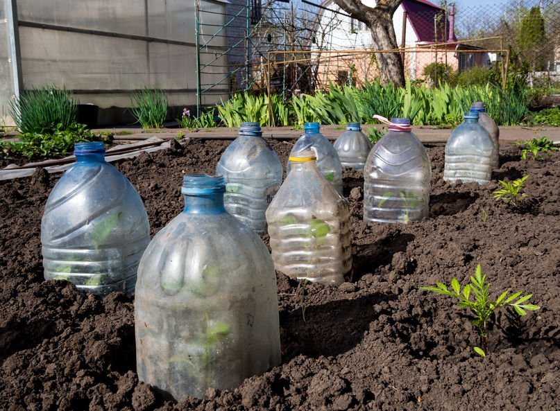 Plastic bottles protect plants from frost