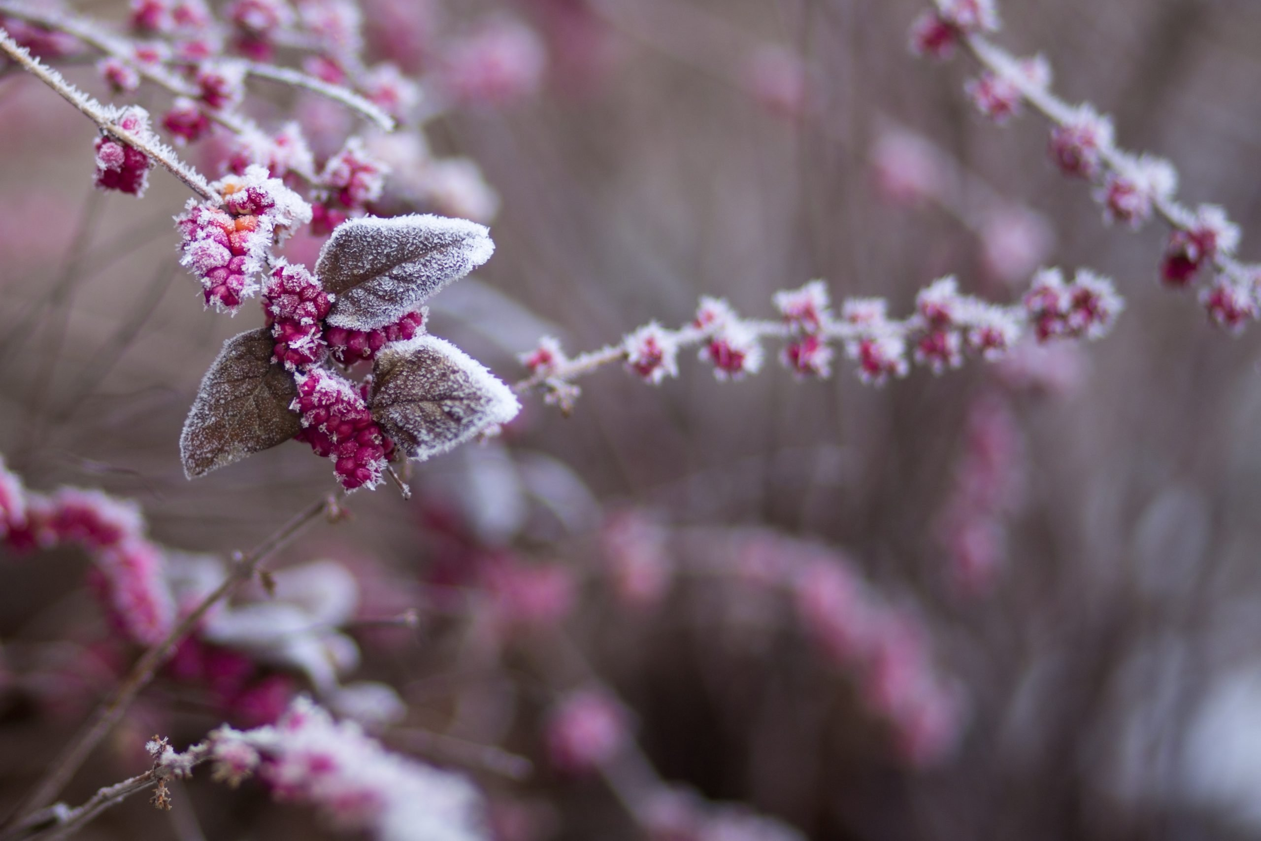 Frost on plant