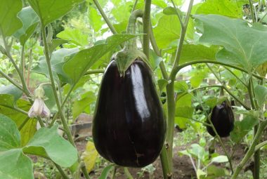 Growing Eggplant